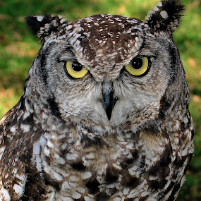 Owl Stare by Helen Nickisson - Animals Birds (  )