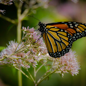 Monarch on Milkweed by Satyam Muench - Uncategorized All Uncategorized ( monarch butterfly, butterfly, monarch, milkweed, monarch butterfly on milkweed, milkweed butterfly,  )