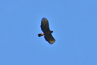 Photo: Black-and-chestnut Eagle