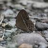 Dark-brand bush brown