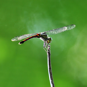 Dragonfly by Astian Riady - Animals Insects & Spiders