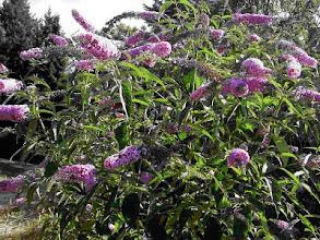 Photo: Butterfly Bush