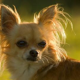 by Branko Cesnik - Animals - Dogs Portraits