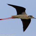 Black-winged Stilt; Cigüeñuela