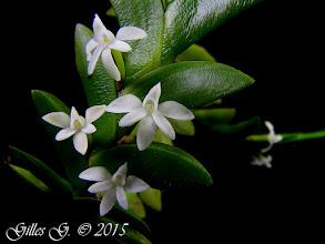 Photo: Angraecum aporoides