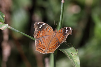Photo: Natal Pansy - Junonia natalica