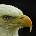 Bald Eagle (Close ups)