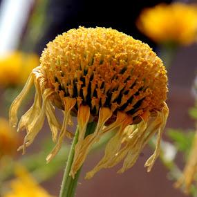 Spring Flower by Laxmikant Shah - Flowers Single Flower (  )