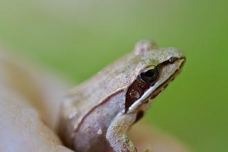 Photo: Wood froggy !