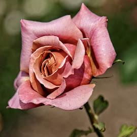 Field D rose 07 by Michael Moore - Flowers Single Flower (  )