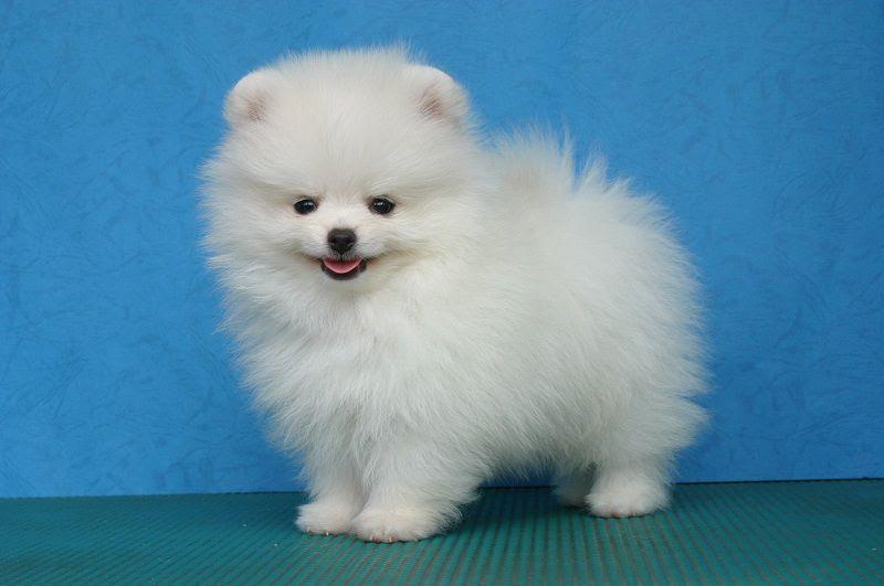 Harga Anjing Pomeranian Mini Pom Harga Jual Beli Anakan Mini Pom