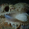 Veined / Coconut Octopus