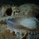 Veined / Coconut Octopus