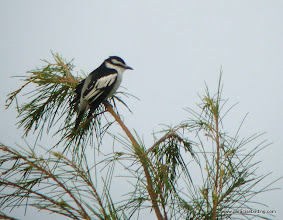 Photo: Pied Triller, Mantanani Island