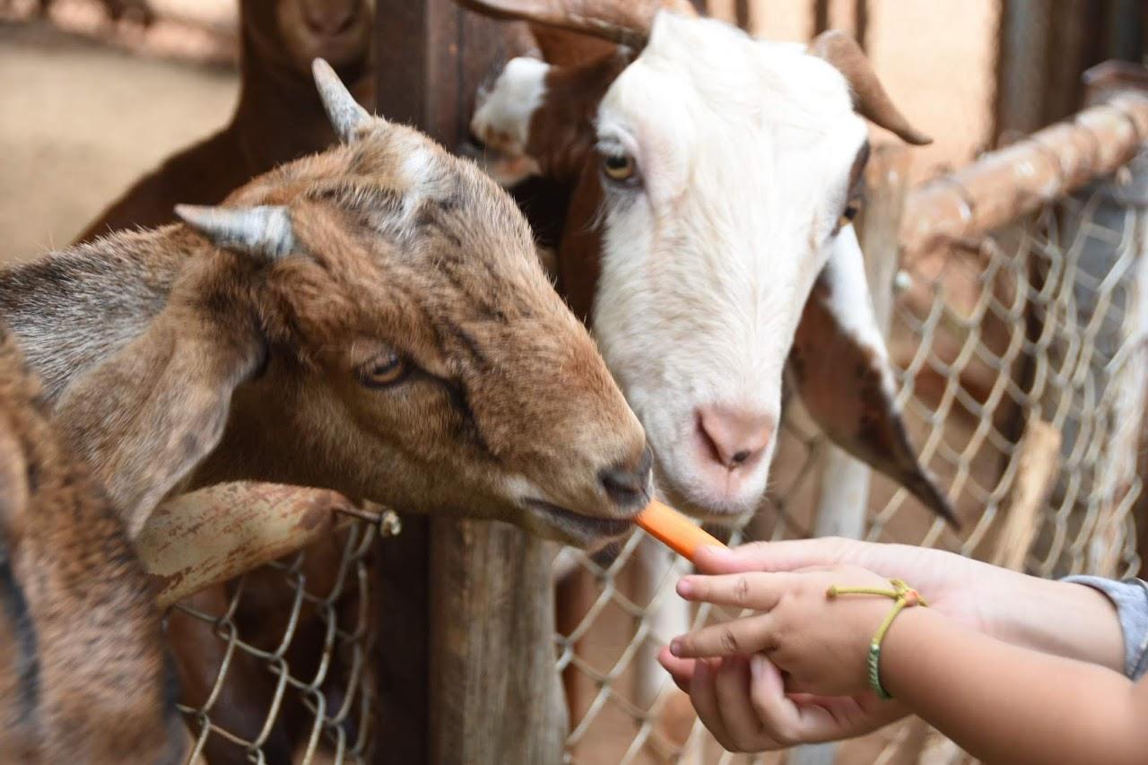 カオヤイ・モーポー牧場 人参を食べる山羊