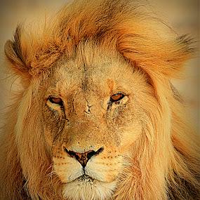 king kalahari by Theuns de Bruin - Animals Lions, Tigers & Big Cats ( kl )