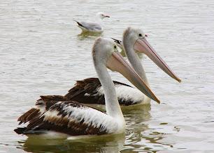 Photo: Year 2 Day 166 - Pelicans in Merimbula
