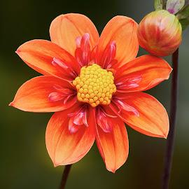 Dahlia 9547~ by Raphael RaCcoon - Flowers Flower Gardens