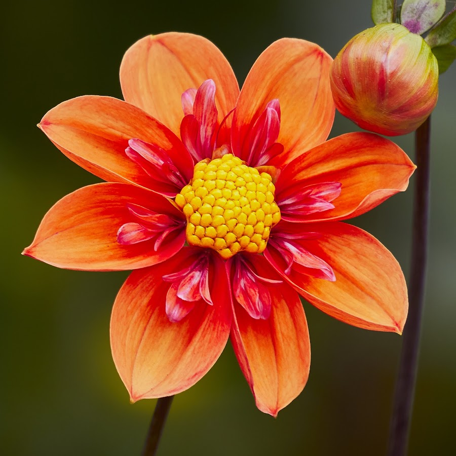 Dahlia 9547~ by Raphael RaCcoon - Flowers Flower Gardens