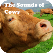 The Sounds of Cows