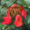 African TulipTree, Fountain Tree