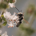 Uruçu-Cinzenta Bee