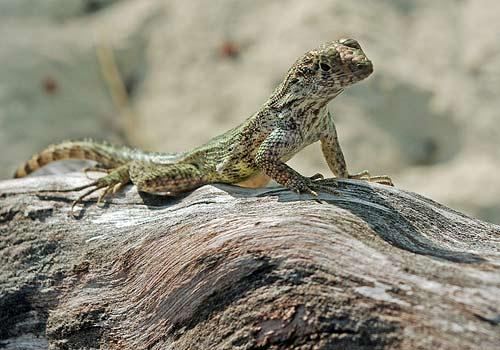 A lizard guarding the geocache at Cemetery Beach on Grand Cayman.