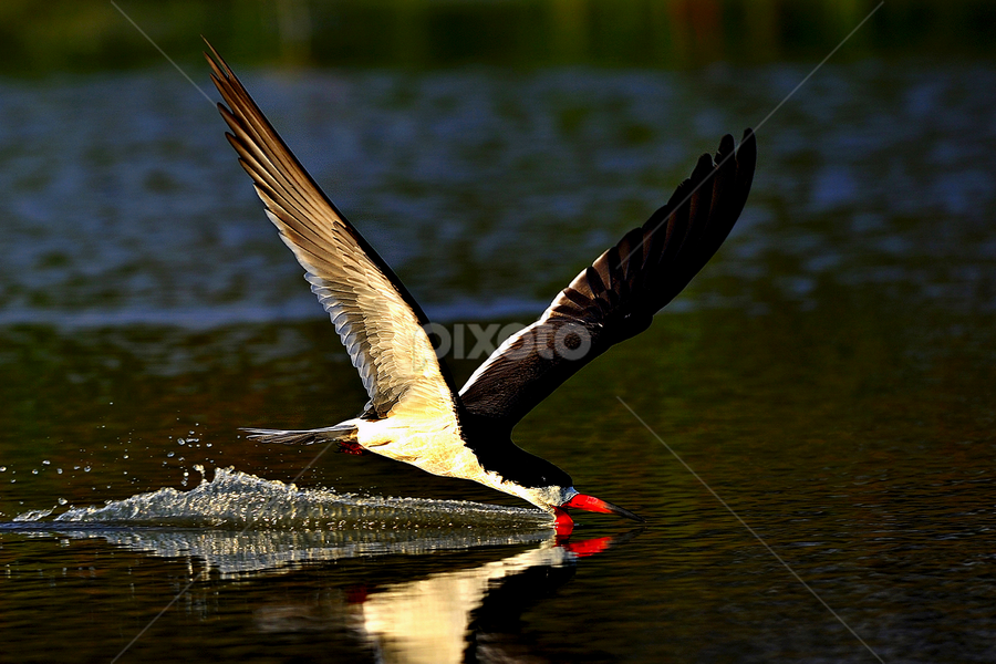 Surfing for the last meal by Dan Pham - Animals Birds (  )
