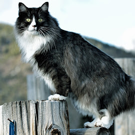 Ranch Cat by Twin Wranglers Baker - Animals - Cats Portraits (  )