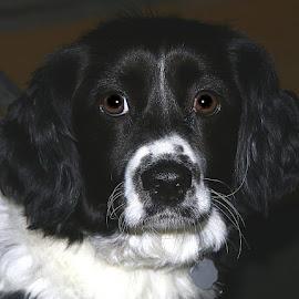 Charlie by Chrissie Barrow - Animals - Dogs Portraits ( crossbreed, fur, white, black, portrait, dog, pet, border collie )