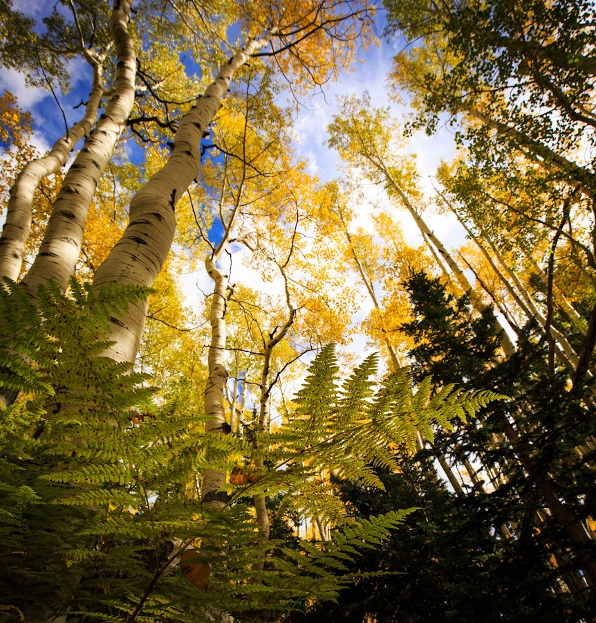 Wilson Meadow by Gannon McGhee - Landscapes Forests ( az, national, colors, forest, hart, prairie, aspen, fern, coconino, canopy, tree, flagstaff, autumn, canon 16-35mm f4, canon 5d mark iii, arizona, fall, meadow, trees, wilson, october, pine )
