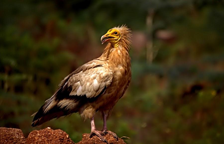 The emperor - Egyptian Vulture  by Prasanna Bhat - Animals Birds ( iucn, vulture, endangered, wildlife, birds )