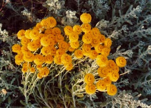 """Photo: Fleurs de la garrigue de Provence. La santoline petit-cyprés - """"Santolina chamaecyparissus"""" - lieux secs et arides - colline - Lubéron (04)."""