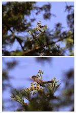 Photo: 撮影者:佐藤哲郎 クロツグミ タイトル:クロツグミ 観察年月日:2014/5/4 羽数:♂1羽 場所:醍醐川ににく沢出合手前 区分:初認 メッシュ:五日市4B コメント:5/4 MLに鳥信報告済みです。