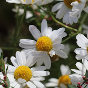 wild chamomile flower by Per Holt Oksen-Larsen - Novices Only Flowers & Plants ( of, wild, side, chamomile, by, road, the, flower )