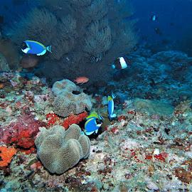 by Phil Bear - Animals Fish ( reef, coral, fish, surgeonfish, coral reef, maldives )