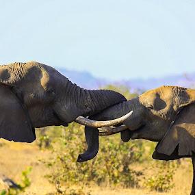 Sizing it up by Angie Birmingham - Animals Other Mammals ( elephants, national park, elephant, south africa, wildlife, kruger )