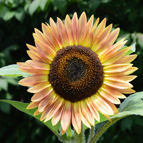 The Sunflower by Corinne Hall - Flowers Single Flower (  )