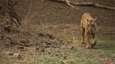 Photo: Royal Bengal Tiger  This is a cub of Krishna - T19 who lives in Area 3 at Ranthambore NP., India. We were very fortunate to have her ready for photographs several times during our recent photo tour to this location.  Thanks to the good people of India for doing everything possible to protect wild tigers!  Thanks for looking and sharing!  Raymond.  Please help preserve our natural world.  #tiger #india #ranthambore #raymond #nature  #wildlife #wildlifephotography #wildography #travel  #adventure #googlephotos