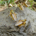 Golden Dung Fly