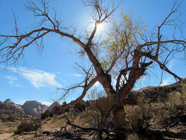 Cottonwood in Horseshoe Canyon