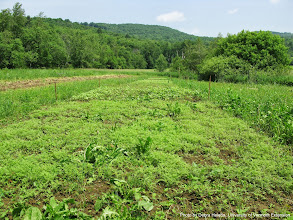 Photo: Plots of Phacelia, buckwheat, and a commercial bee forage mix starting to grow.