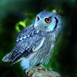 Tout petit rapace by Gérard CHATENET - Animals Birds