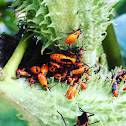Large Milkweed Bug nymphs