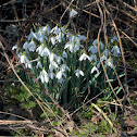 Common Snowdrop