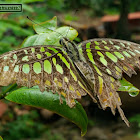 Tailed jay, Green-spotted triangle, Tailed green jay, Green triangle.
