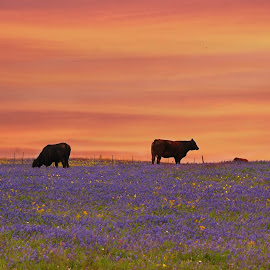 Till The Cows Come Home by Brenda Shoemake - Animals Other Mammals