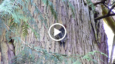 Video: A Red-breasted Sapsucker is drilling a series of holes in a cedar tree so that it can feed on the sap that flows out.