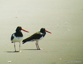 Photo: American Oystercatchers on the beach at Peso Island