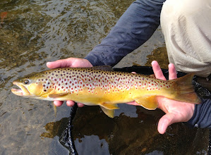 Photo: Healthy brown trout from the Mad River in Ohio
